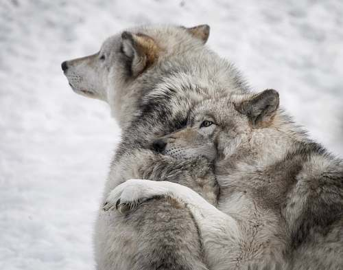 mammal two gray wolves wildlife
