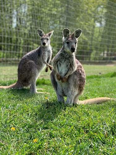 mammal two kangaroos wallaby