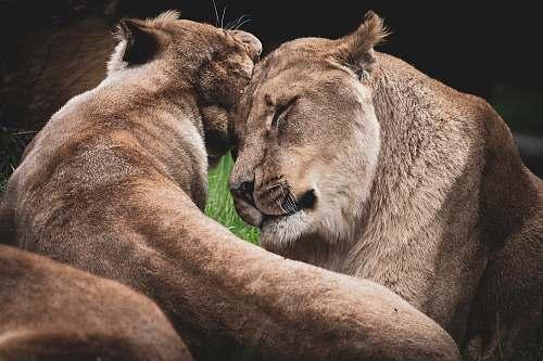 wildlife two lioness hugging lion
