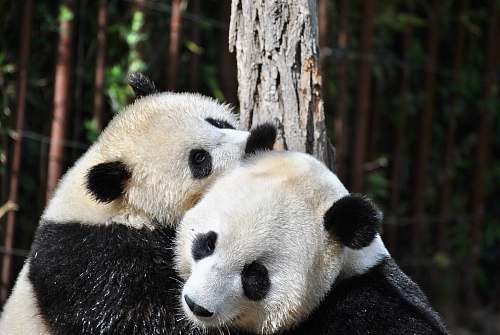 mammal two pandas hugging in front of tree during day giant panda