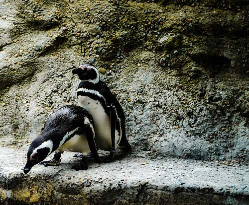 bird two penguin on concrete pavement penguin