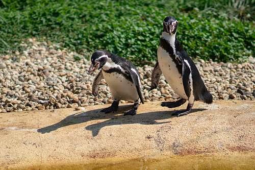bird two penguins beside body of water penguin