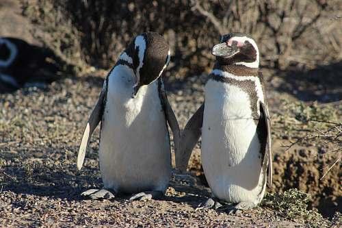 bird two penguins penguin