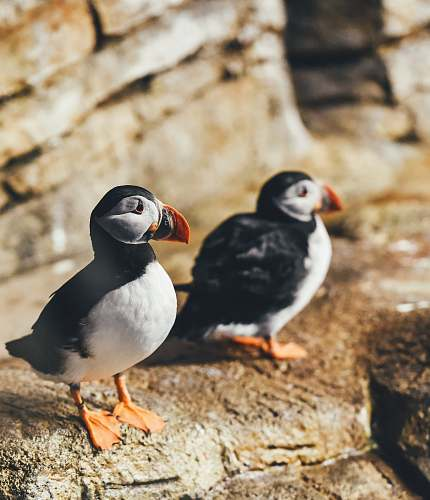 bird two white-and-black birds perching on rock puffin