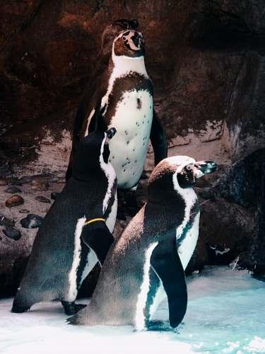 bird two white and black penguins king penguin