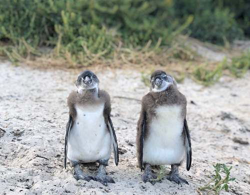 bird two white and brown penguins penguin