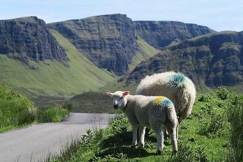 mammal two white lambs sheep