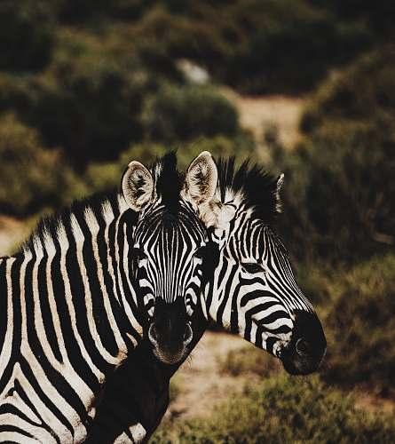zebra two zebra on forest wildlife