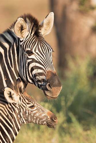 wildlife two zebras in shallow focus shot zebra