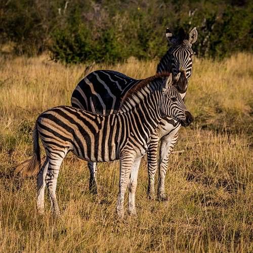 wildlife two zebras on grass zebra