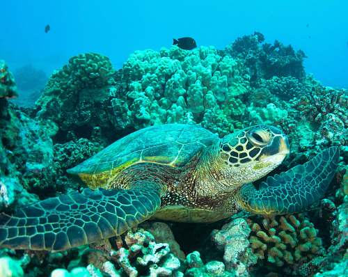 reptile underwater photography of turtle on coral reefs sea life