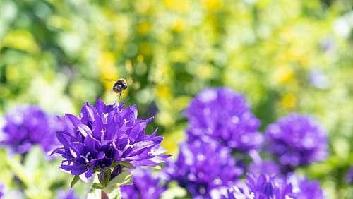 apidae violet-petaled flowers bee