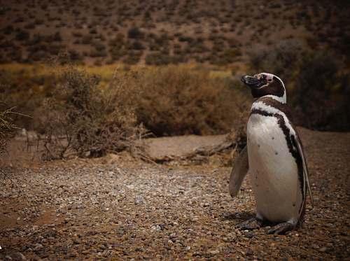 bird white and black animal penguin