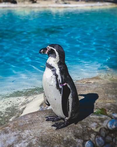 bird white and black animal standing near body of water penguin