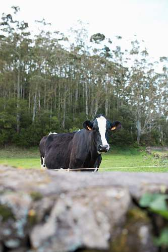 cattle white and black dairy cow near tree during daytime cow
