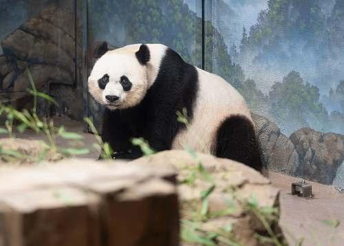 mammal white and black panda inside cage bear