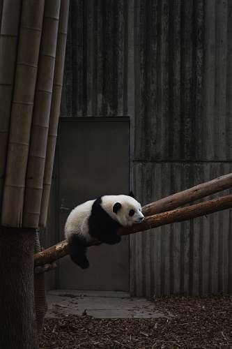 mammal white and black panda wildlife