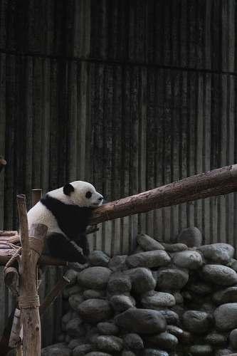 mammal white and black Panda on wood giant panda
