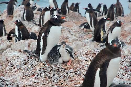 bird white-and-black penguins penguin