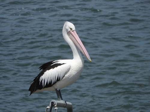 bird white and black seagull pelican