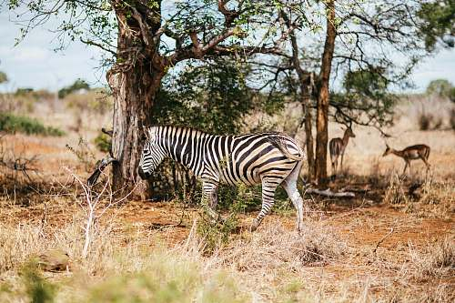 wildlife white and black zebra walking on grassland zebra