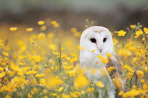 bird white and brown barn owl on yellow petaled flower field owl