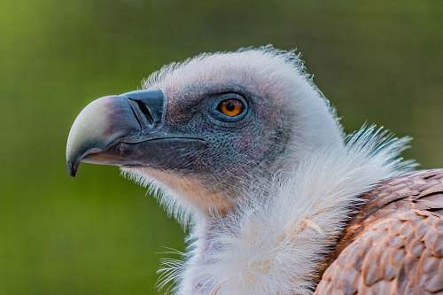 bird white and brown eagle vulture