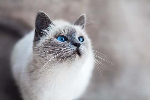pet white and gray cat cat