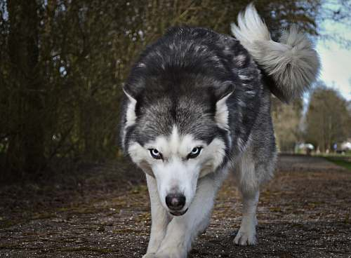 dog white and gray wolf canine