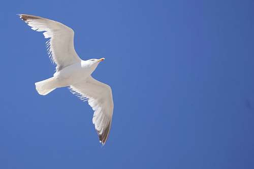 photo bird white bird flying on the sky seagull free for commercial use images