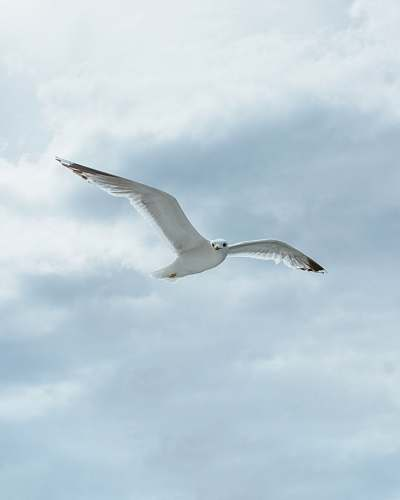 photo bird white bird in sky during daytime seagull free for commercial use images