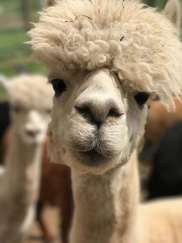 llama white camel alpaca