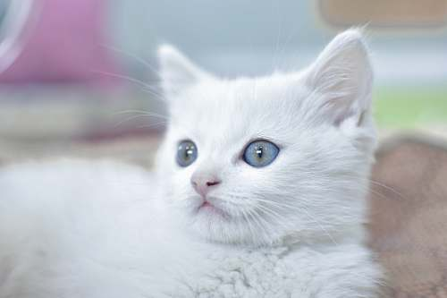 photo cat white cat with blue eyes pet free for commercial use images