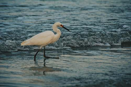 photo bird white egret on body of water waterfowl free for commercial use images