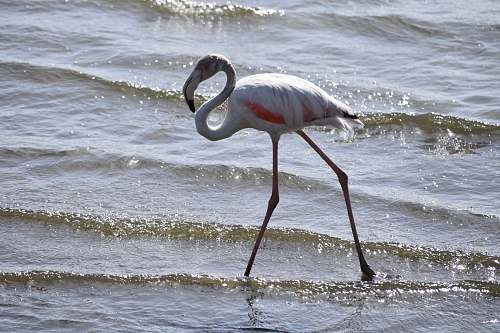 photo bird white flamingo bird on body of water water free for commercial use images