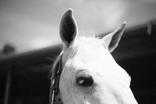 photo horse white horse black-and-white free for commercial use images