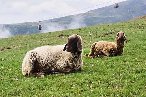 mammal white lamb sheep