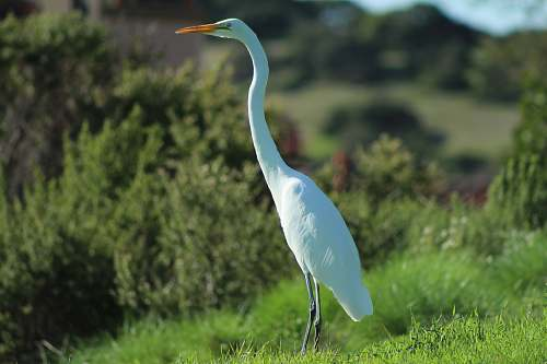 photo waterfowl white long-necked bird standing on grass field ardeidae free for commercial use images