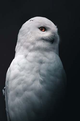 bird white owl grey