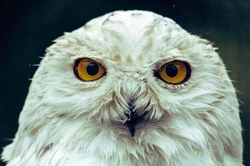 bird white owl in close up owl