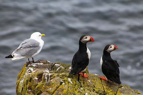 photo bird white seagull and two puffin birds perching on rock near body of water during daytime iceland free for commercial use images