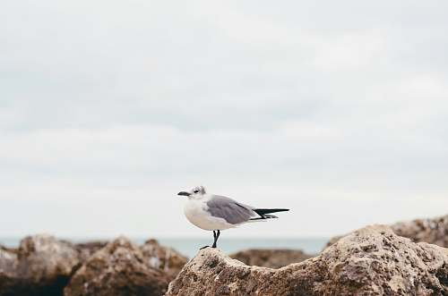 flying white seagull on rock nature
