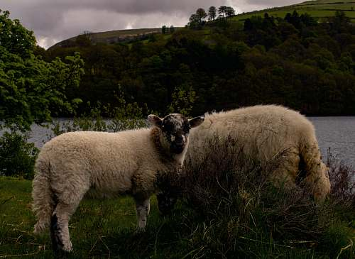 mammal white sheep sheep