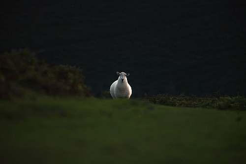 bird white sheep running on grass field sheep