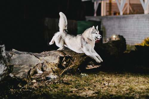 bird white Siberian Husky jumping on brown tree trunk during night time canine