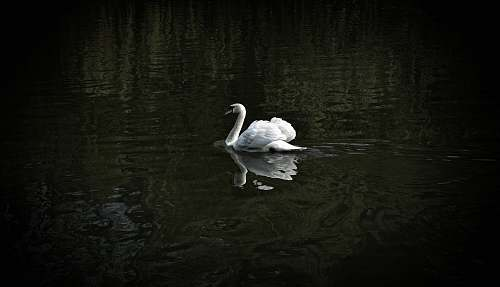 bird white swan floating on water swan