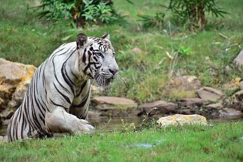 tiger white tiger wildlife