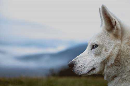 dog white wolf in close-up photography at daytime pet