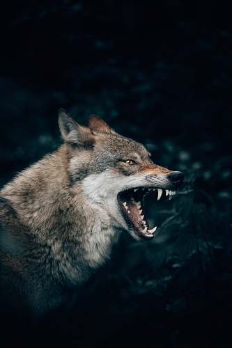 mammal wolf with open mouth wolf