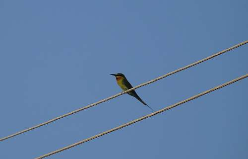 bird yellow bird on wire bee eater